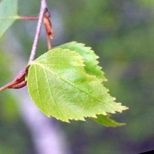 Осиновый лист от лямблиоза