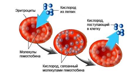 эритроциты и кислород